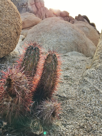 red spine cactus
