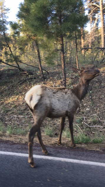 Drive by Elk photo