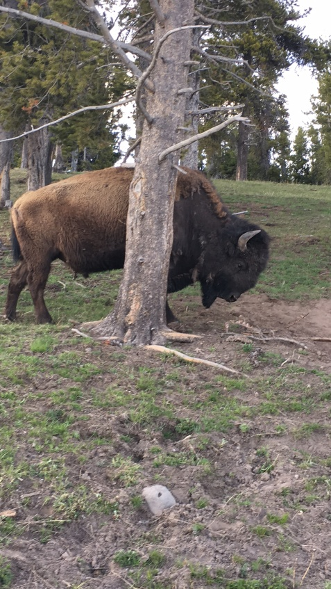 Molting Bison