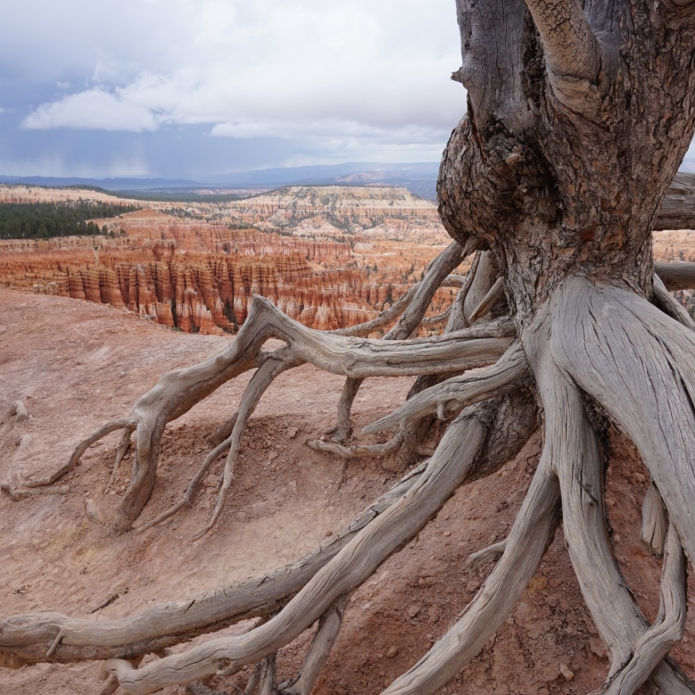 Tree roots along the canyon