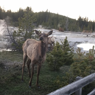 Elk silly face 3
