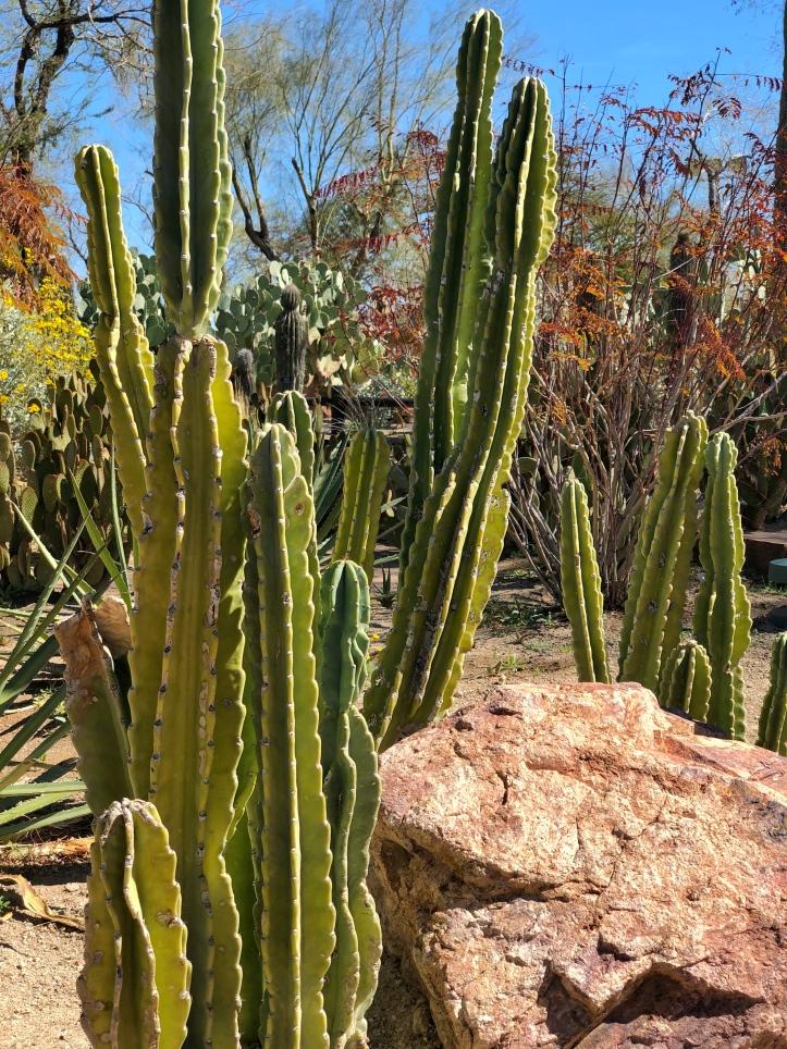 cactus stalks