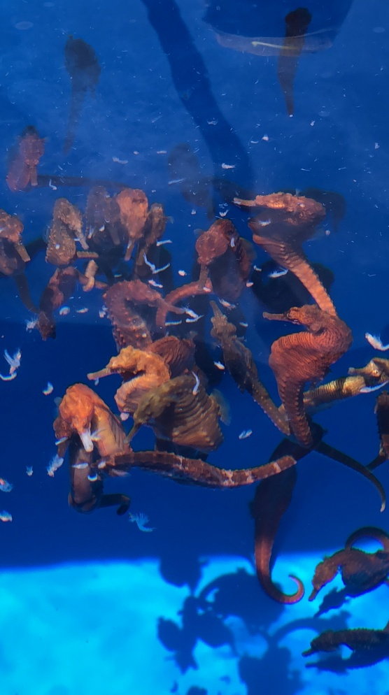 seahorse_feeding