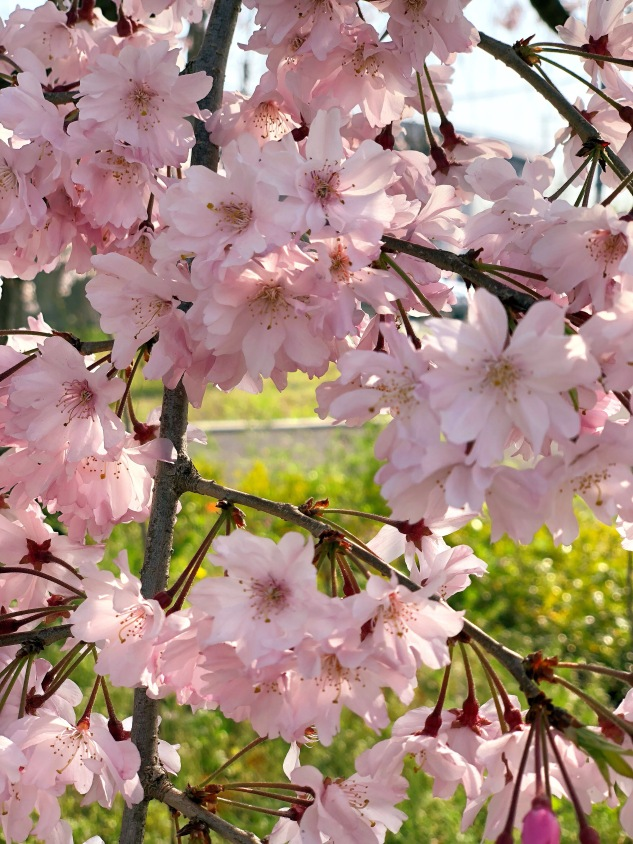 Kyoto Blush Pink Hanami