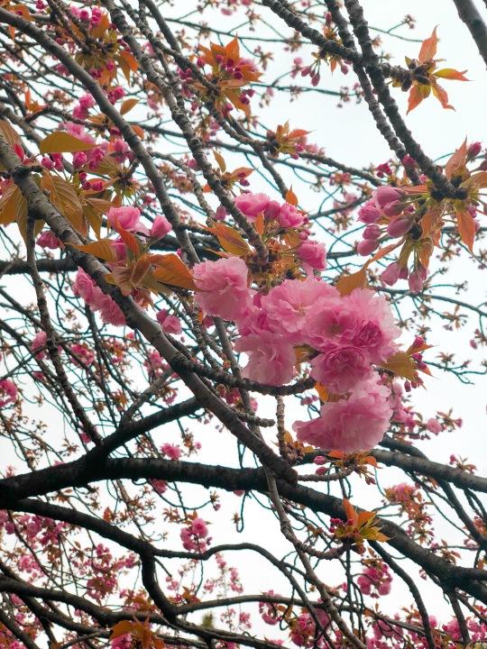 Tokyo Pink Hanami