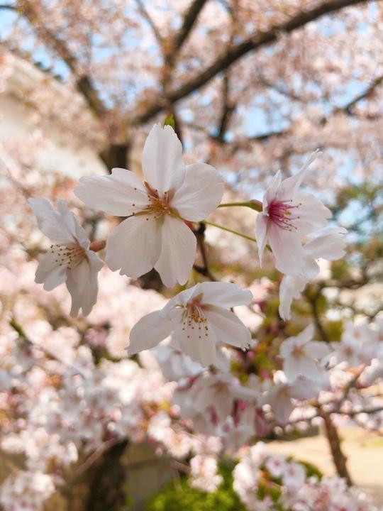 White Hanami